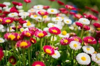 daisies-384584_640.jpg